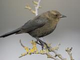 Brewer's Blackbird (Euphagus Cyanocephalus), Victoria, British Columbia, Canada Photographic Print by Glenn Bartley