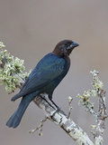 Brown-Headed Cowbird (Molothrus Ater) Perched on a Branch in South Texas, USA Photographic Print by Glenn Bartley