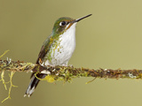 A Booted Racket-Tail Hummingbird (Ocreatus Underwoodii) Perched on a Branch Photographic Print by Glenn Bartley
