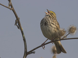 Savannah Sparrow (Passerculus Sandwichensis), Victoria, British Columbia, Canada Photographic Print by Glenn Bartley