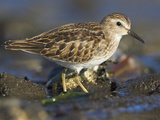 Least Sandpiper (Calidris Minutilla) Along the Coastline in Victoria, British Columbia, Canada Photographic Print by Glenn Bartley