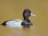 Male Lesser Scaup (Aythya Affinis) Swimming on a Pond, Victoria, BC, Canada Photographic Print by Glenn Bartley