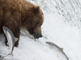 Grizzly Bear (Ursus Arctos Horribilis) Trying to Catch Salmon as They Leap the Falls Photographic Print by Hal Beral
