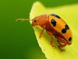 Orange Ladybeetle Photographic Print by Tan Chuan-Yean