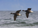 Brant Goose (Branta Bernicla) Flying, Victoria, British Columbia, Canada Photographic Print by Glenn Bartley