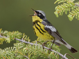 Magnolia Warbler (Dendroica Magnolia) Singing on a Spruce Branch, Ontario Canada Photographic Print by Glenn Bartley