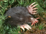Star-Nosed Mole (Condylura Cristata) Emerging from Tunnel Photographic Print by Ken Catania