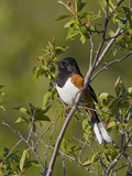 Eastern Towhee (Pipilo Erythrophthalmus) on a Branch in Ontario, Canada Photographic Print by Glenn Bartley
