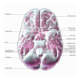 Biomedical Illustration of the Underside of the Human Brain, Labels Giclee Print by Scott Camazine