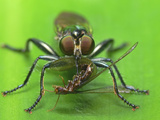 Robber Fly with Pierced Insect Prey Photographic Print by Tan Chuan-Yean
