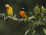 Male and Female Baltimore or Northern Orioles (Icterus Galbula), Costa Rica Photographic Print by Gregory Basco