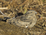 Common Nighthawk (Chordeiles Minor) in Victoria, British Columbia, Canada Photographic Print by Glenn Bartley
