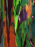 Multicolored Peeling Bark of Rainbow Eucalyptus (Eucalyptus Deglupta) Fotografisk tryk af Gregory Basco