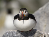 Atlantic Puffin (Fratercula Arctica) Maine, USA Photographic Print by John Abbott
