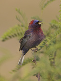 Varied Bunting (Passerina Versicolor) Singing, Big Bend National Park, Texas, USA Photographic Print by John Abbott