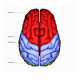 Biomedical Illustration of the Human Brain from Above, Labels Giclee Print by Scott Camazine