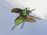Glorious Scarab Beetle in Flight (Chrysina Gloriosa), Texas, USA Photographic Print by John Abbott