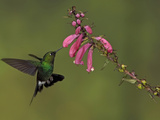 Tourlamine Sunangel (Heliangelus Exortis) Feeding at a Flower While Flying, Guango Lodge, Ecuador Photographic Print by Glenn Bartley