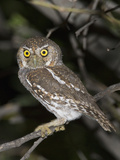 Elf Owl (Micrathene Whitneyi), Big Bend National Park, Texas, USA Photographic Print by John Abbott