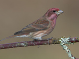 Purple Finch (Carpodacus Purpureus) Perched on a Branch in Victoria, British Columbia, Canada Photographic Print by Glenn Bartley