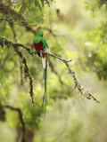 Resplendent Quetzal (Pharomachrus Mocinno), Costa Rica Papier Photo par Gregory Basco