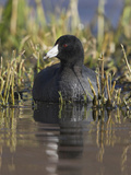 American Coot (Fulica Americana) on a Pond in Victoria, British Columbia, Canada Photographie par Glenn Bartley