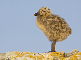 Glaucous-Winged Gull Chick (Larus Glaucescens) Perched on a Rock in Victoria, British Columbia Photographic Print by Glenn Bartley