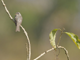 Tumbes Pewee (Contopus Punensis) Perched, Ecuador Photographic Print by Glenn Bartley