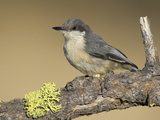 Pygmy Nuthatch (Sitta Pygmaea) Perched on a Branch, Oregon, USA Papier Photo par Glenn Bartley