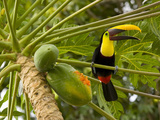 Chestnut-Mandibled Toucan Eating Papaya Fruits (Ramphastos Swainsonii), Costa Rica Photographic Print by Gregory Basco
