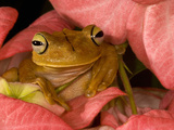 Gladiator Tree Frog (Hyla Rosenbergii), Costa Rica Photographic Print by Gregory Basco