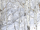 Mountain Lion (Puma Concolor) in a Snowy Quaking Aspen Grove (Populus Tremuloides) Photographic Print by Alexander Badyaev