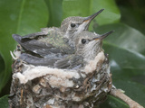 Anna's Hummingibrd (Calypte Anna) Chicks are Almost Too Big to Fit in the Tiny Nest, Irvine Photographic Print by Hal Beral