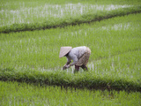 Rice Seedlings are Planted by Hand in the Flooded Rice Paddy, Hoi An, Vietnam Photographic Print by Hal Beral