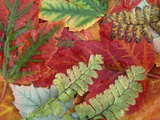 Fall Leaves of Red Maple and Five Finger or Maidenhair Ferns Lámina fotográfica por David Cavagnaro