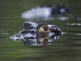 A Black Caiman Prowles a Jungle Stream in Amazonian Ecuador Photographic Print by Glenn Bartley