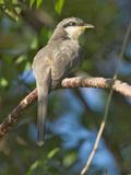Mangrove Cuckoo, Costa Rica Photographic Print by Glenn Bartley
