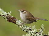 Bewick's Wren (Thryomanes Bewickii) Perched on a Branch, Victoria, BC, Canada Photographic Print by Glenn Bartley