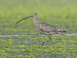 Long-Billed Curlew (Numenius Americanus) Feeding in Shallow Water, Victoria, British Columbia Photographic Print by Glenn Bartley