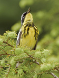 Magnolia Warbler (Dendroica Magnolia) Perched on a Spruce Branch and Singing, Ontario Canada Photographic Print by Glenn Bartley