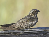 Common Nighthawk (Chordeiles Minor), Victoria, British Columbia, Canada Photographic Print by Glenn Bartley