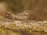 Anthony&#39;s Nightjar (Caprimulgus Anthonyi) Perched on a Branch Near the Coast of Ecuador Photographic Print by Glenn Bartley