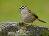 White-Crowned Sparrow (Zonotrichia Leucophrys) Perched on a Rock, Victoria, BC, Canada Photographic Print by Glenn Bartley