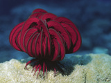 Red Feather Star or Crinoid (Himerometra Robustipinna), Papua New Guinea Photographic Print by Hal Beral