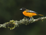 Male Baltimore or Northern Oriole (Icterus Galbula), Costa Rica Photographic Print by Gregory Basco
