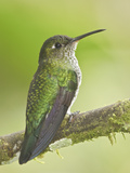 Many-Spotted Hummingbird (Taphrospilus Hypostictus) Perched on a Branch, Wildsumaco Reserve Photographic Print by Glenn Bartley