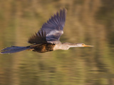Anhinga Flying (Anhinga Anhinga) in South Texas, USA Photographic Print by Glenn Bartley