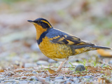 Varied Thrush (Ixoreus Naevius) Perched on the Ground, Victoria, BC, Canada Photographic Print by Glenn Bartley