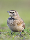 Horned Lark (Eremophilia Alpestris) Perched on the Ground, Victoria, British Columbia, Canada Photographic Print by Glenn Bartley