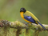 Black-Chinned Mountain-Tanager (Anisognathus Notabilis) Perched on a Branch Photographie par Glenn Bartley